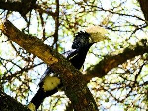 ethiopie-2019-awassa-oiseaux-calao