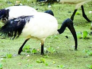 ethiopie-2019-awassa-oiseaux-ibis