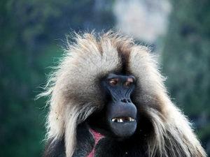 ethiopie-2019-simiens-faune